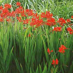 overplant crocosmia
